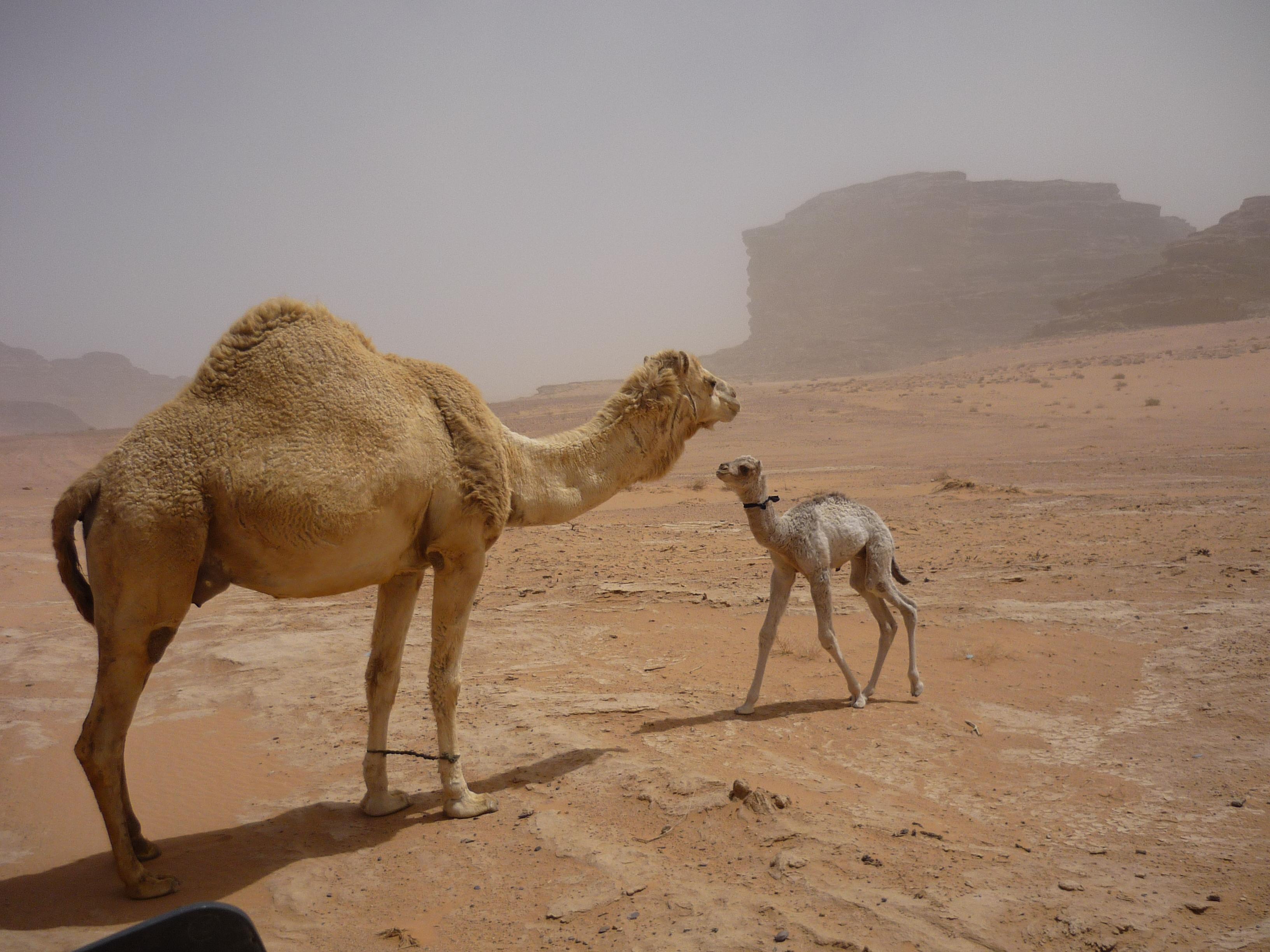 Luca Errera, Daniela Trastulli, Giordania, deserto, Wadi Rum, cammello